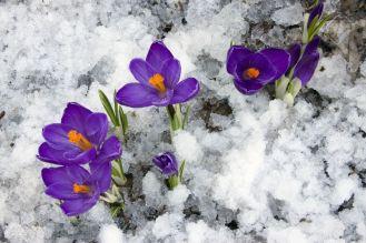 4030698-printemps-crocus-floraison-des-fleurs-travers-la-neige-fondante-banque-dimages